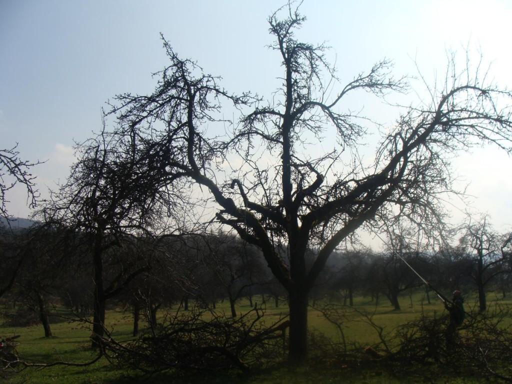 Obstbaumschnitt - professionell